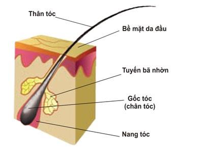 cấu trúc của tóc